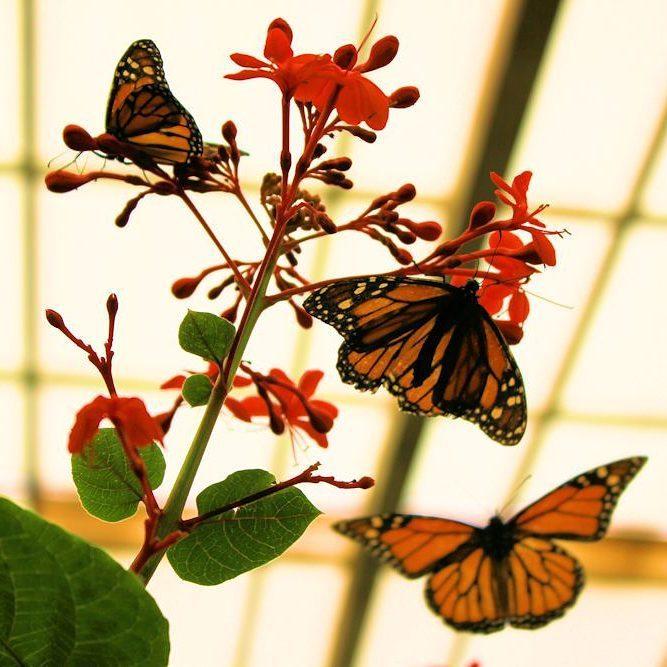 Hoy tocaba mariposario #danausplexippus (en Mariposario de Benalmádena . Benalmadena Butterfly Park)