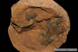 #fossilfriday #trilobite #meencantanlosfosiles