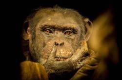 Este #chimpancé está pensando porqué lo hemos encerrado en un zoo #naturaleza #nature