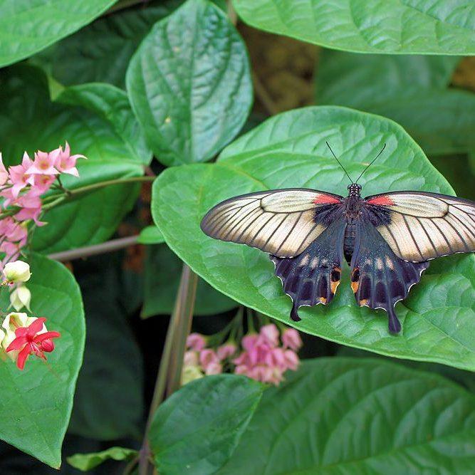 Hoy tocaba mariposario #papiliomemnon #sinfiltros (en Mariposario de Benalmádena . Benalmadena Butterfly Park)