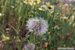 Taraxacum campilodes #nature #naturaleza #flores #flowers (en Barranco Del Sol)