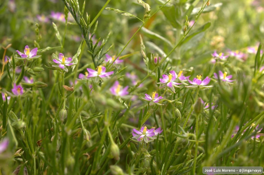 Tristagma uniflorum #nature #naturaleza #flowers #flores (en Barranco Del Sol)