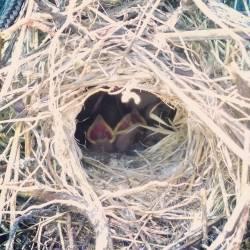 Hemos llegado al cortijo para pasar el fin de semana y nos hemos encontrado con esta maravilla. #nature #naturaleza #pajaros #polluelos