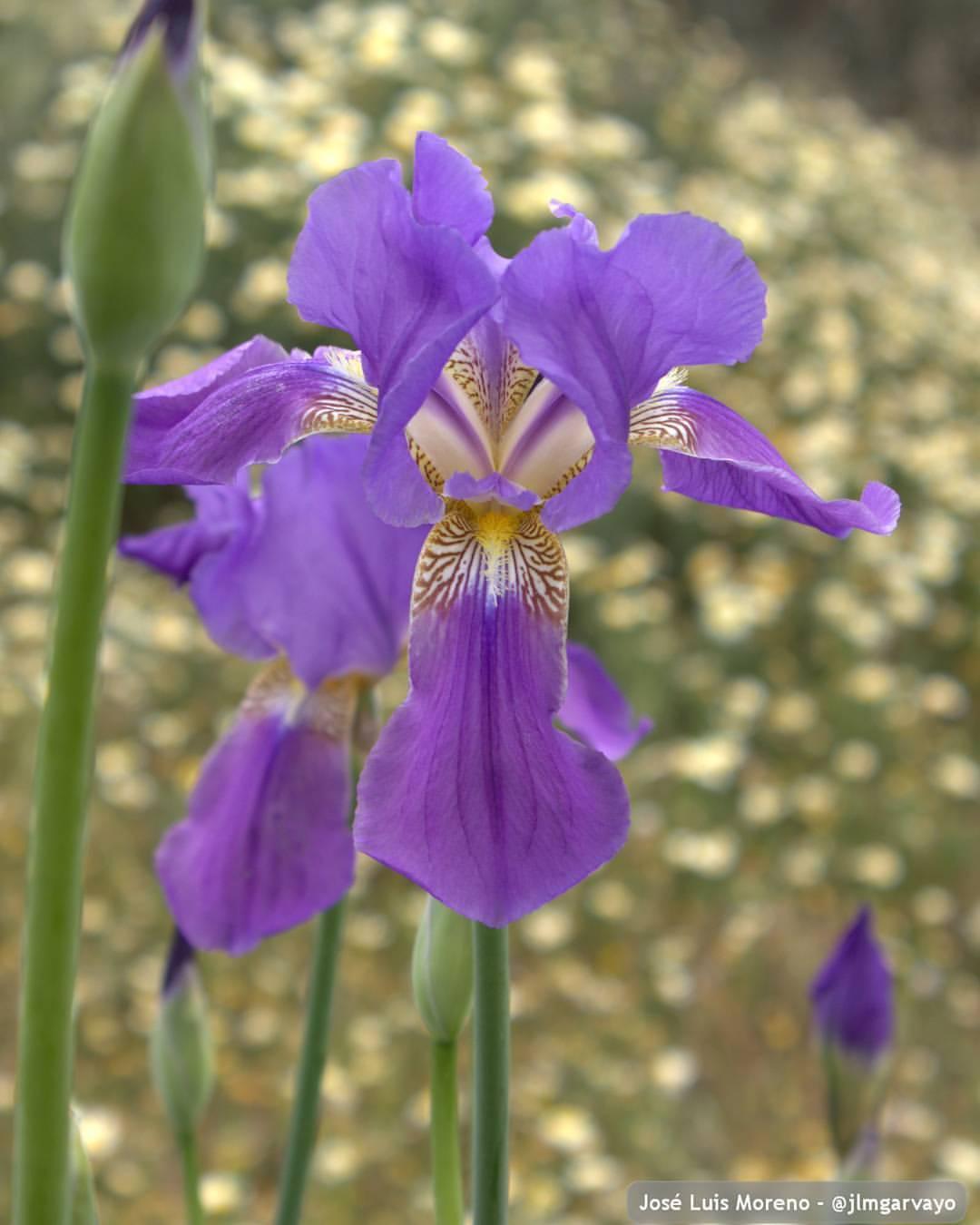 Iris latifolia - lirio ingles #nature #naturaleza #flores #flowers