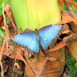 Hoy tocaba mariposario #morphopeleides #sinfiltros (en Mariposario de Benalmádena . Benalmadena Butterfly Park)
