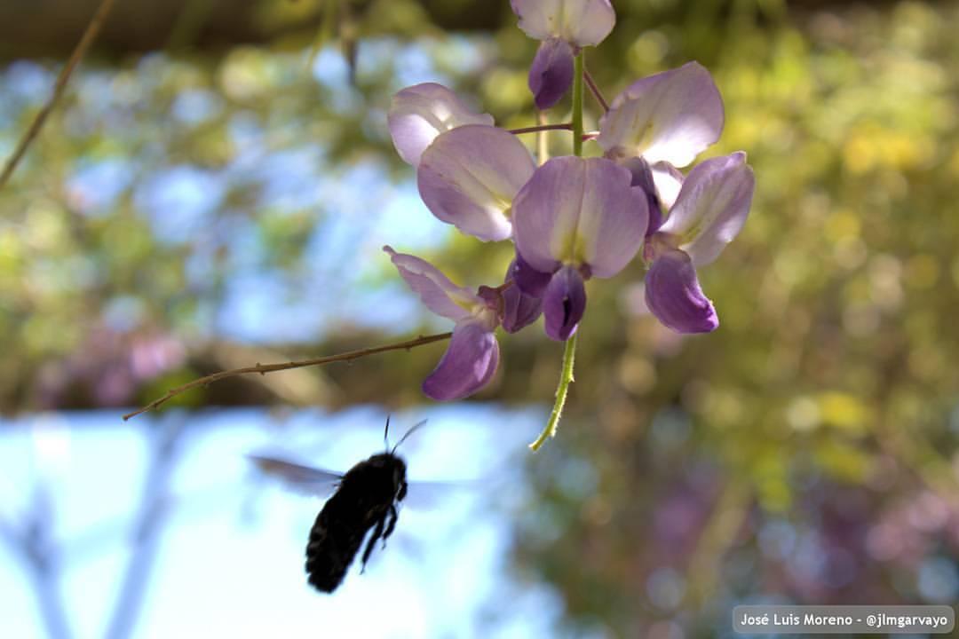 Polinización de Wisteria sinensis #nature #naturaleza #flores #flowers #spring