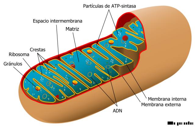 33 watermark 640x480 mitocondria 0 Las mitocondrias, seres extraños en nuestro cuerpo
