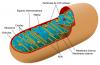 thumbs mitocondria 0 Las mitocondrias, seres extraños en nuestro cuerpo