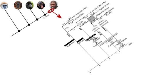 cladograma final nggid03339 ngg0dyn 480x360x100 00f0w011c010r110f110r010t010 Para entender la paleoantropología. 2ª parte: La evolución