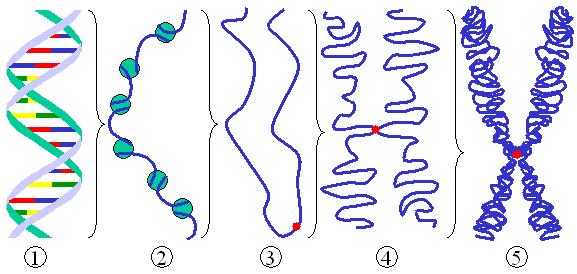 Chromatin chromosome ¿SON IDÉNTICOS LOS GEMELOS IDÉNTICOS? (y III)