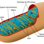 mitocondria 150x150 Los números de la biología (I)