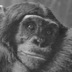 chimpanzee stockxchng 150x150 Yo también soy raro