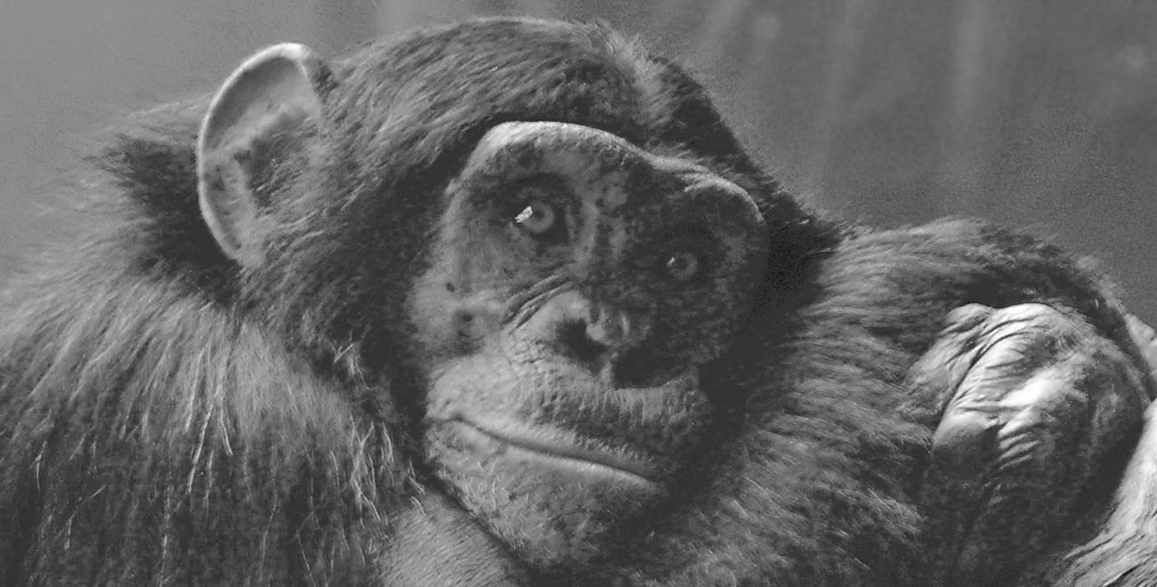 chimpanzee stockxchng Los humanos somos únicos, ¿no? (Parte 1)
