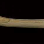 Femur Sima Huesos 150x150 Para entender la paleoantropología. 2ª parte: La evolución