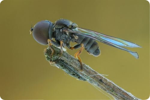 moscas cabezonas Siete días ... 20 a 26 de enero