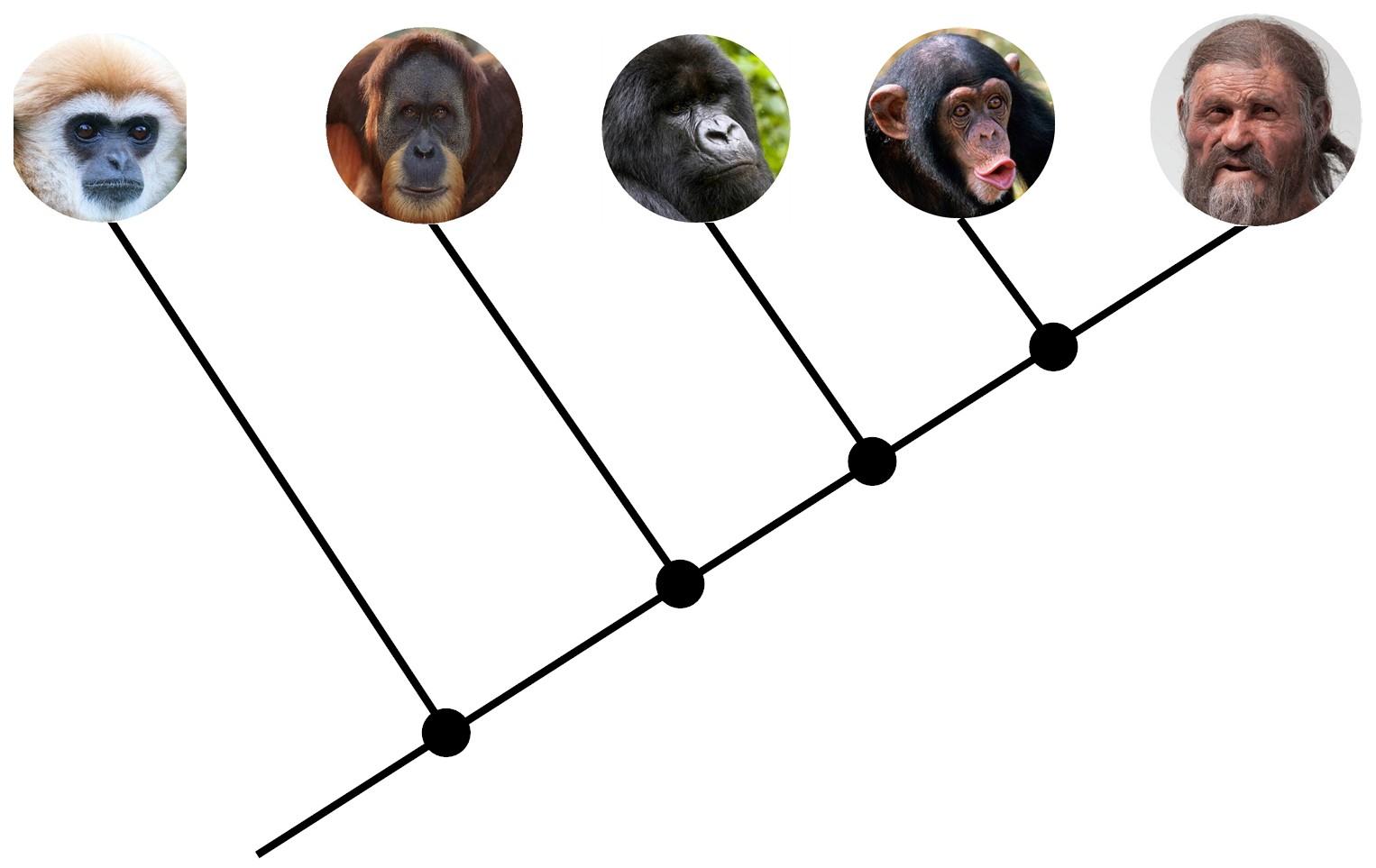 cladograma Para entender la paleoantropología. 2ª parte: La evolución