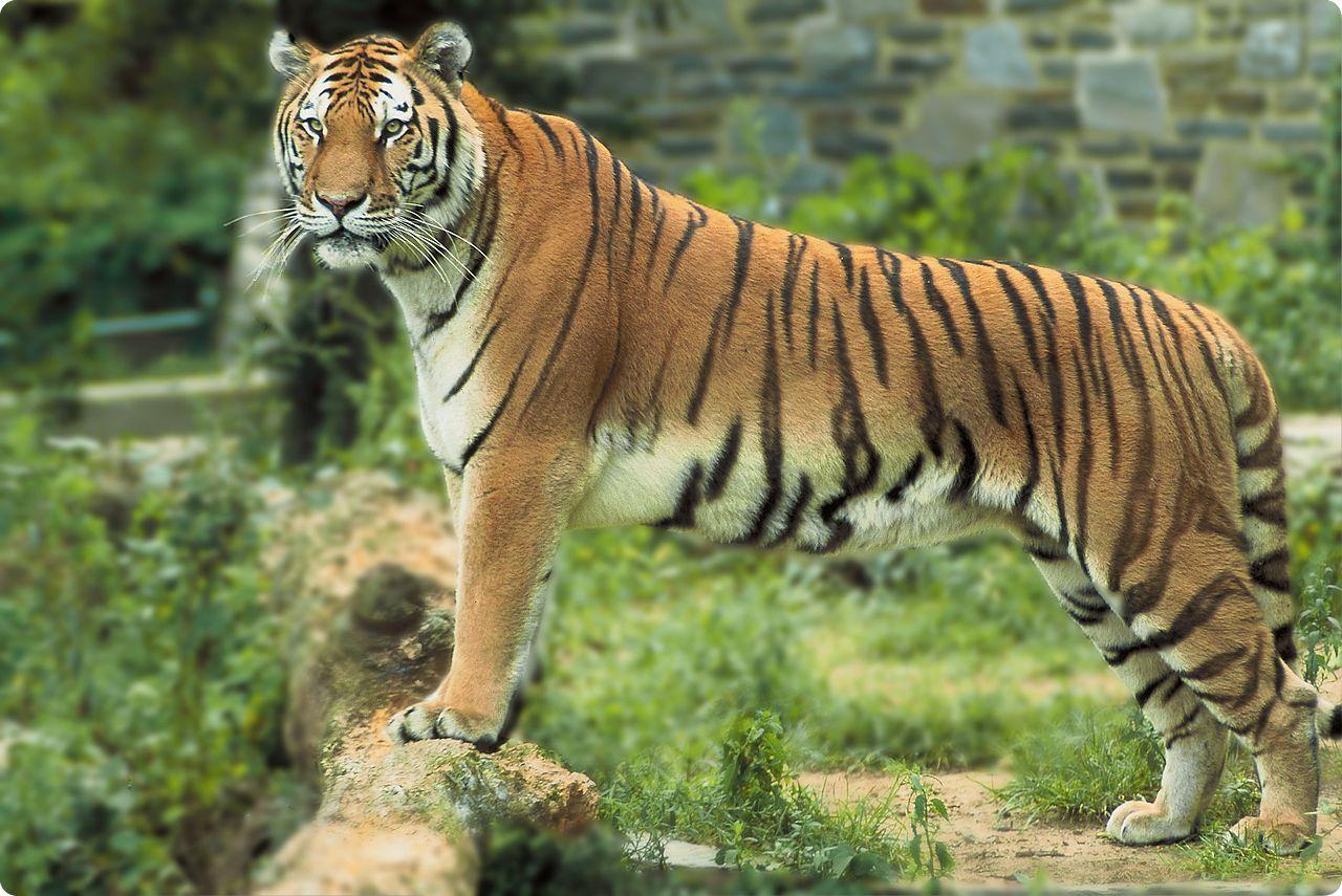Panthera tigris tigris Los números de la biología (I)