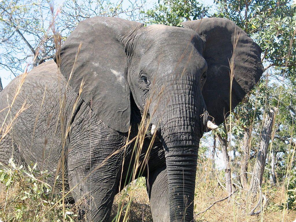 elefante Los números de la biología (y II)