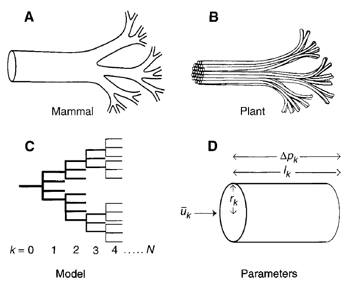 fractal Los números de la biología (y II)